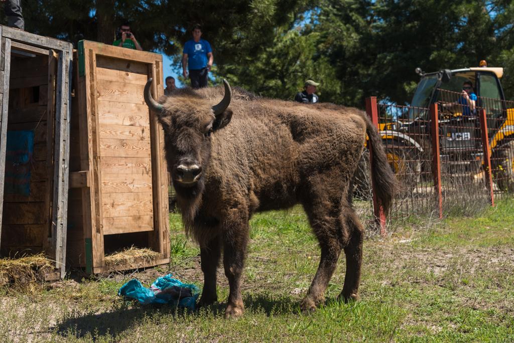 suelta-bisontes-4066