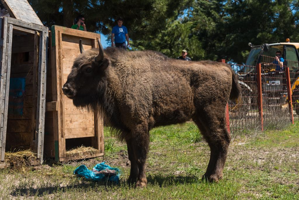 suelta-bisontes-4069