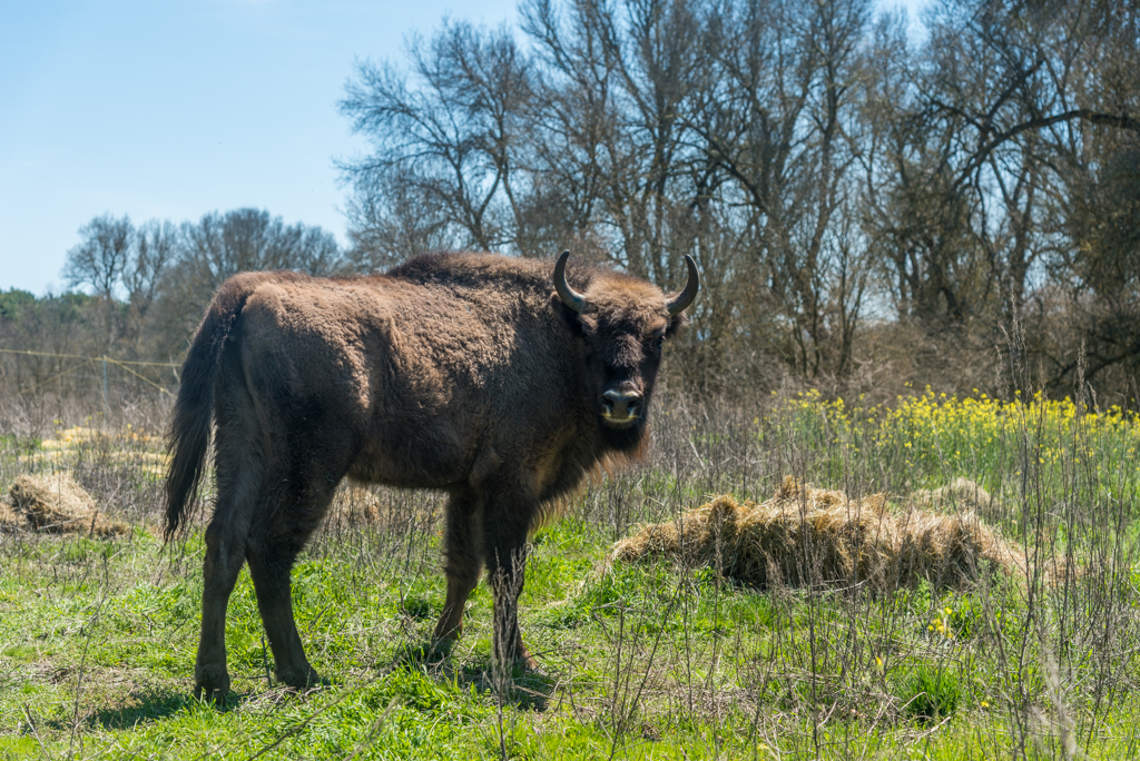 suelta-bisontes-4078