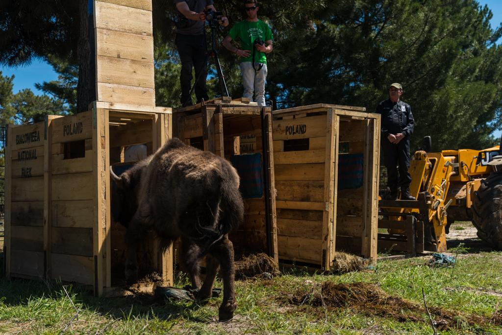 suelta-bisontes-4090