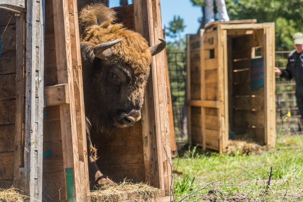 suelta-bisontes-4098