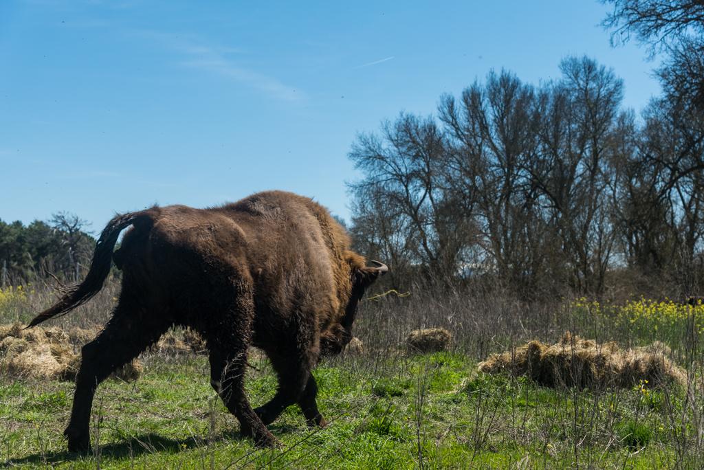 suelta-bisontes-4103