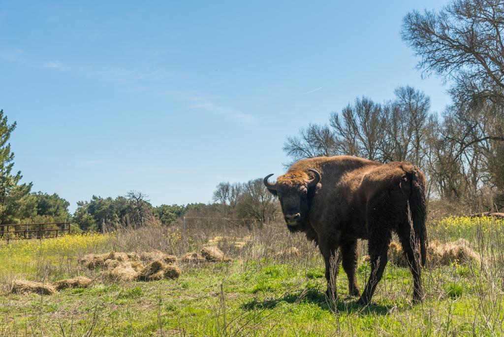 suelta-bisontes-4111