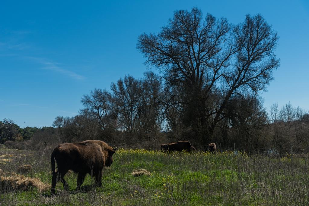 suelta-bisontes-4138