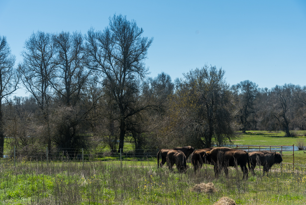 suelta-bisontes-4140
