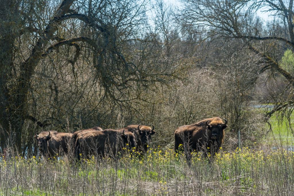 suelta-bisontes-4151